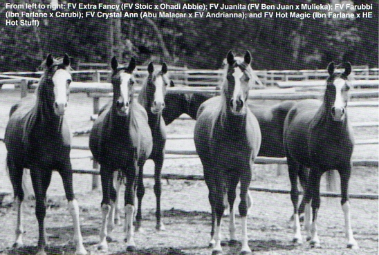 Fairview Farm youngsters: (left to right) FV Extra Fancy (FV Stoic x Ohadi Abbie), FV Juanita (FV Ben Juan x Mulieka), FV Farubbi (Ibn Farlane x Carubi), FV Crystal Ann (Abu Malacar x FV Andrianna), and FV Hot Magic (Ibn Farlane x HE Hot Stuff).