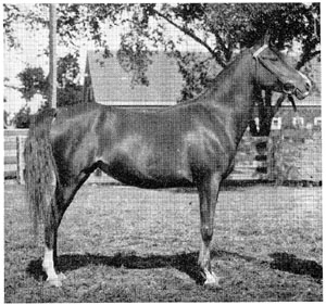"The Davenport-Arabian, ""Fasal,"" is known by nearly every Arabian breeder in America. There are no Muniqi among any of her ancestors."
