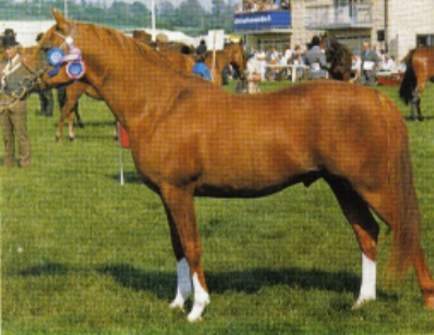 General Gold, chestnut arabian stallion and UK sire of significance