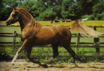 Gold Seyal (Spearmint x Desert Rose) chestnut Arabian stallion