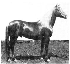"The Davenport-Arabian, ""Harara""(above), was sired by ""Deyr,""who was bred by the Anazeh Bedouins."