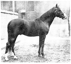 "The great-grandmother of the Blunt-Arabian, ""Nuri Sherif""(above), was Blunt's mare, ""Wild Thyme,"" whose pedigree says: ""Said to be a Kehileh El-Fidawi, bred by the Baggara tribe."""