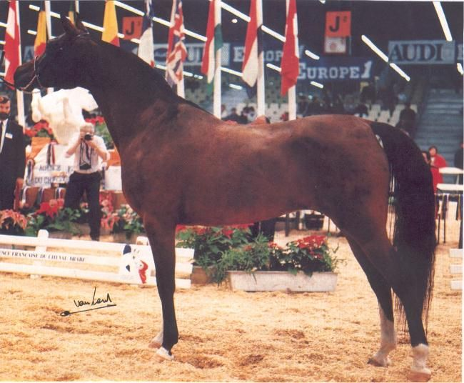 Orinda (Hoekhorst Shiraz x Nephrim), owned by Suzy Pirard, Belgium. She was World Champion Mare at Paris in 1988.