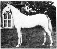 "The Blunt-Arabian, ""Rose of France,"" is the fifth generation removed from Muniqi."