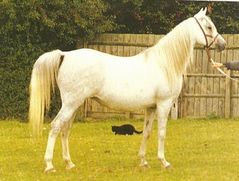 Sa'Lilah (Silver Flame x Sunset by Bright Shadow)