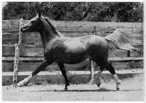 "Photo of ""Sartez"" at two years old, a perfect 50-50 blend of Davenport and Blunt bloodlines."