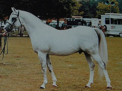 Silver Blue (Azrak x Silver Sheen) grey Crabbet Arabian stallion important to UK Crabbet breeding