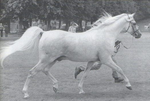 Silver Flame (Indian Flame II x Silver Ripple)