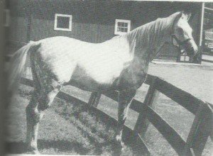 *Touch of Magic (Indian Magic x *Indian Diamond) at eight years old standing 15.1 hands. From 'The Look of Eagles' farm brochure.