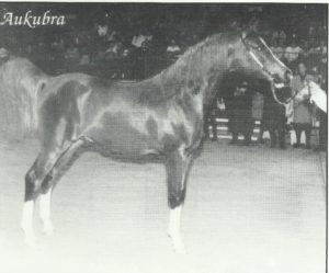Aukubra (Aurabba x Pearl Lady) World Champion as a yearling in Paris was owned by Sue and Emyrs Jones, who also owned his sire, Aurabba.