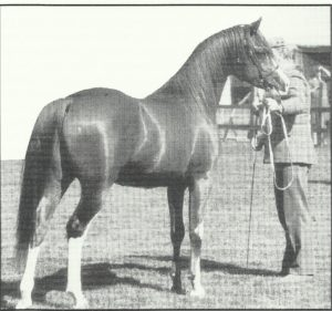 Aurabba (Ben Rabba x Nareena), 1980 chestnut stallion Junior Champion Stallion at the UK Nationals, 1985