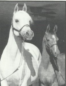 Grand Fast (AM Count Pine x Silver Grand) 1973 grey mare with 1997 colt Hales Reflection, owned by Meadow Ridge Farm.