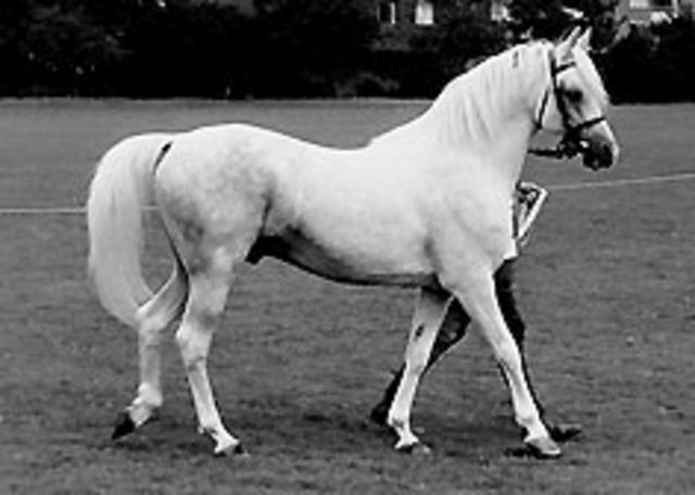 Naseel (Raftan x Naxina) parading at Roehampton. Photo from Rowchester archives.