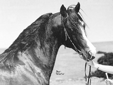 AKHU (1970) bay stallion (Remembrance x Kai) A winning show horse under saddle and champion sire in Australia. A straight Crabbet with 3 lines to Riffal. Pat Slater photo. Part of the Queen of Sheba and Azrek article originally published in the Crabbet Influence magazine and shared here at Crabbet.com