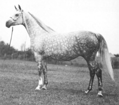GWEN (Orbit x Al Marah Dathyna) Legion of Merit 1974, numerous championships in Mare halter, English pleasure and park horse. From Jim Robbins interview originally published in the Crabbet Influence magazine, shared here on Crabbet.com