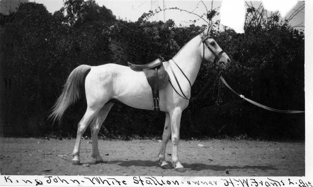 *King John, photo from Bill Cooke used in the WK Kellogg Arabians Horse Ranch article about the imported Arabian horses, *King John and *Malouma, by Carol Woodbridge Mulder on Crabbet.com. Originally printed in the Crabbet Influence magazine.