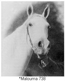 *Malouma 738, imported gray Arabian mare and an important member of CMK breeding that lives on today. Part of the WK Kellogg Arabian Horse Ranch article by Carol Woodbridge Mulder on Crabbet.com and originally published in the Crabbet Influence magazine.