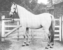 NEJIBA (1892) (Azrek DB x Nefisa) gray mare. This Azrek daughter has no descent today although her bay brother Nejran survives through his daughter Rish. Photo from The Crabbet Arabian Stud, et al. Part of the Queen of Sheba and Azrek article originally published in the Crabbet Influence magazine and shared here at Crabbet.com