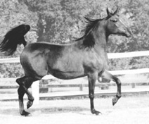 SERR HALIMA (1972) (Ansata Ibn Halima x Serrasab) bay mare. A straight Egyptian mare who inherits color and type largely from her five lines to the Crabbet stallion Sotamm, via Nazeer and the Babson imports. Part of the Queen of Sheba and Azrek article originally published in the Crabbet Influence magazine and shared here at Crabbet.com
