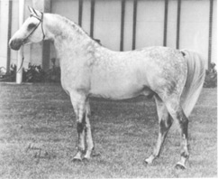 SHALIMAR GILLETTE++ (Garaff x Collette) 1967 Legion of Merit stallion. Champion and Reserve Champion Stallion wins, stock horse, western pleasure and get of sire winner. Sire of 4 Legion of Merit winners. Johnny Johnston photo. From the interview by Jim Robbins article originally published in the Crabbet Influence magazine and shared here on Crabbet.com