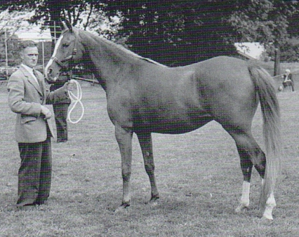 Silent Wings 1957 Junior Female Champion. Bred by Lady Wentworth. Photo from 40 Years of British Arab Horse Champions by Deidre Hyde. Part of the Silent Wings article by Kat Walden, originally published in the Crabbet Influence magazine and shared here at Crabbet.com