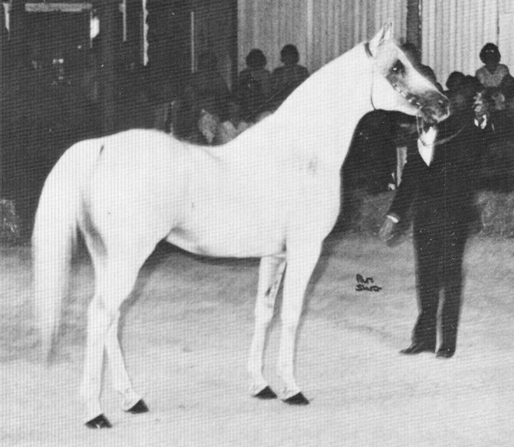 The Puritan (imp) owned by Ralvon Stud, Australia. Photo from Jacquie Beckett article for the Crabbet Influence magazine, shared here on Crabbet.com