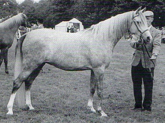 The mare Yemama (Indian Magic x Silent Wings) foaled in 1959. She won 1962 Junior Female Champion. Photo from 40 Years of British Arab Horse Champions by Deidre Hyde. From the Silent Wings article by Kat Walden originally published in the Crabbet Influence magazine and shared here at Crabbet.com