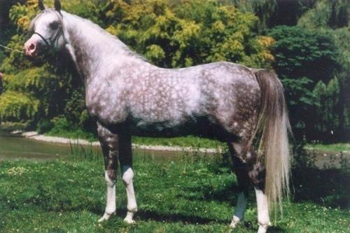 The stallion Magic Domino (Ludomino x Hamsfah) owned by Coniagas Ranch in B.C. Canada. From the Silent Wings article by Kat Walden, originally published in the Crabbet Influence magazine and shared here on Crabbet.com
