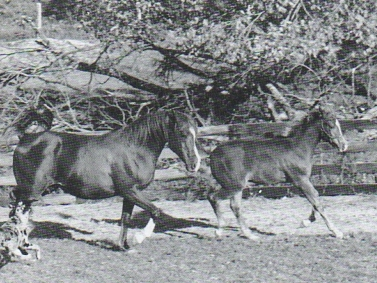 Thurman Farm's mare Antezara (Antezeyn Skowronek x Jadi Tshar) with her foal TF Red Empress, by the Antezeyn Skowronek son, Rowdi Sorcerer. Article originally published in the Crabbet Influence magazine, and shared here at Crabbet.com