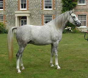 Imperial Silver Star (Shabash x Zaidah) stallion at Imperial Arabian Stud. Article published here at Crabbet.com