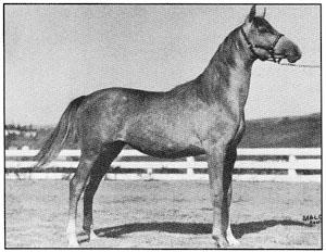 Rifala's Lami (Geym x Maatiga (Image x Maatika)) Roger Selby wrote Cummings that she was as good a filly as he had ever bred.