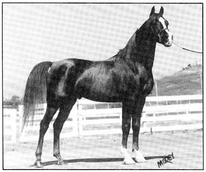 Skowronek's Antez (Antezeyn Skowronek x Raseynette) The author's first Arabian and a wonderful companion for 28 years. He also proved to be a fine sire.