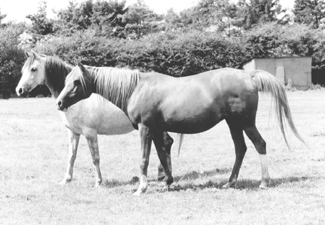 The Star Arabians mares Star Bint Aurora and Crystal Sunset. Article originally published online here at Crabbet.com