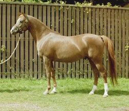 Daas (Imad x Dancing Queen) Arabian stallion at Al Waha Arabians. Article originally published here at Crabbet.com