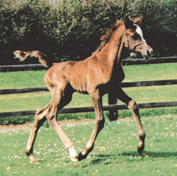 2000 Arabian foal bred by Klinta Arabians. Article originally published here at Crabbet.com