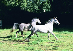 (L to R) Klinta Mofeida (by Silvern Idyll) with her dam, Klinta Azmaa (Indian Reflection x Star Bint Aurora). Klinta Mofeida died September 2002. Article originally published online here at Crabbet.com