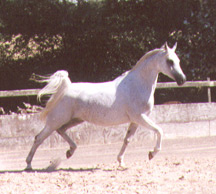 Lalique DS (Menes x La Salone) at Blue Moon Arabians. Article originally from Crabbet.com