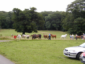 Mares and foals greet visitors as they collect for the day at the Combe Farm open House. Article originally published online here at Crabbet.com
