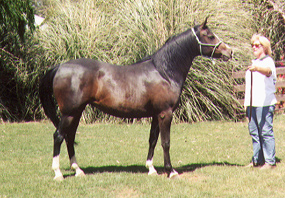 Mill Park Pertrice (Ruberto x Pernelle) 1995 brown mare at Mill Park Stud. Article originally published in the Crabbet Influence magazine, and shared here at Crabbet.com