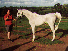 Naazim (Mustafa x Naadirah) 1975 gray stallion at Menangle Park. Article originally published in the Crabbet Influence magazine, and shared here at Crabbet.com