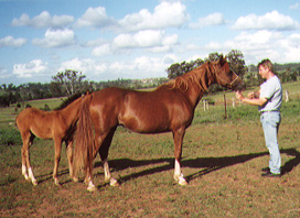 Meadow View Silver Nickel (Nickelsilver x Nijinska) 1989 chestnut mare at Menangle Park. Article originally published in the Crabbet Influence magazine, shared here at Crabbet.com