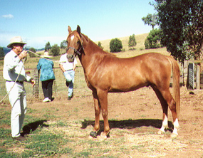 Torryburn Gindari (Baskeer x Torryburn Wamida) 1998 chestnut colt at Torryburn Stud. Article originally published in the Crabbet Influence magazine, and shared here at Crabbet.com