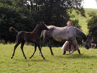 The mare, Winter Persephone (Shapoor x Grey WOod Nymph - British National Champion) herself a Res. Champion Foal at Haywood with her Shaka filly.