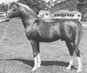 Attila (Count Manilla x Atalanta), photo taken 1974.