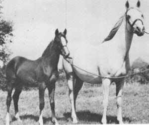 Risira and her filly foal, Nerina (by Rissalix) at 1950 Cheltenham Show.