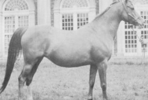 Risslina (Rafeef x Rissla) 1926 chestnut mare. Photo from the Crabbet Arabians by Cecil Covey.