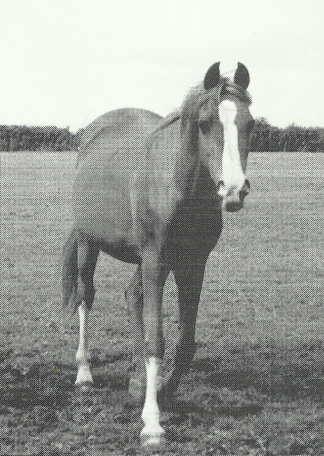 Silver Aura from Anne Brown of Gadebrook Stud