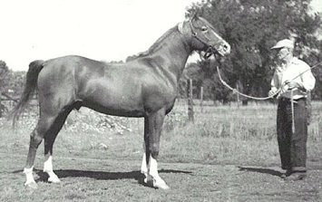 Aaraf as an older horse