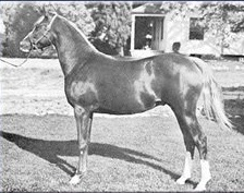 Abu Baha as a yearling