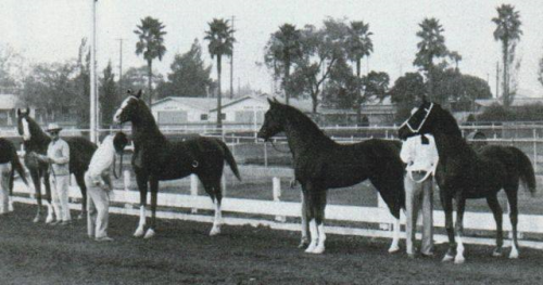 Abu Farwa (on far left) - then his sire Rabiyas, Rahas, Gulastra